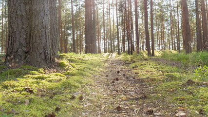 pine forest in the evening, ground slide movement
