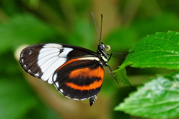 Black and white long wing butterfly