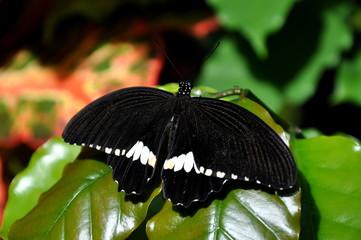 Male Common Mormon butterfly portrait