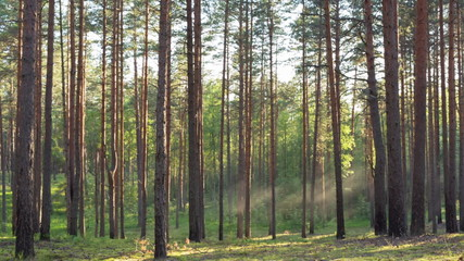 sunset in pine forest with light rays, dolly movement