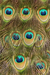 Abstract view of male peacock feathers