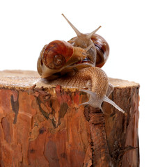 Three snails on pine tree stump
