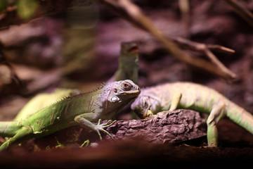 Lizards eat vegetables