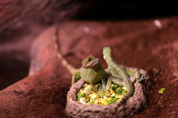 Lizards on a plate with food