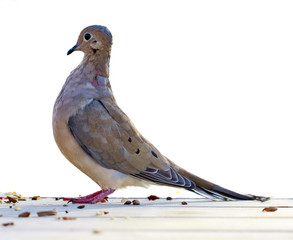 TurtleDove against a white background