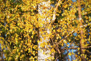 Birch leaves during autumn