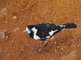 The Magpie-lark or Mudlark or Peewee in Australia