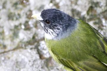 Collared Finch Billed Bulbul Bird