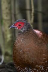 Female Edward's Pheasant / Lophura edwardsi