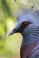 Victoria Crowned Pigeon / Goura victoria