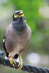 Common Mynah / Acridotheres tristis - singing