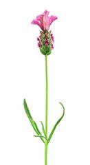 pink lavender flower