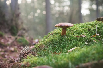 Mushrooms on the mossy ground Selective
