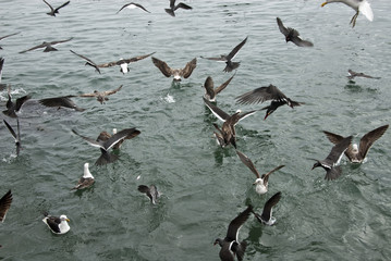 Birds - Seabirds - Albatrosses - South America
