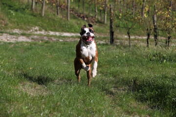 cane boxer felice