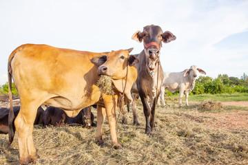 domestic cattle in rural farm field