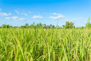 rice field and skies