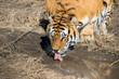 Постер, плакат: Тигр пьет из лужи