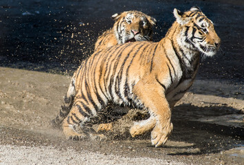 Два тигра бегают - парк тигров в Харбине