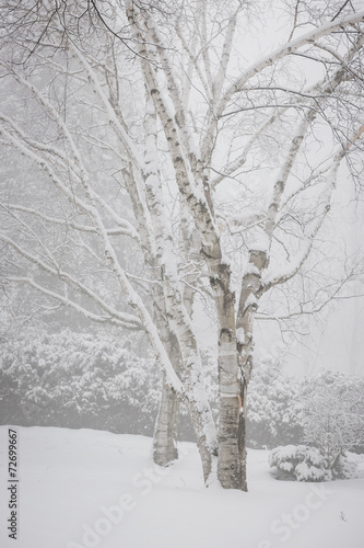 Birch trees in winter - 72699667