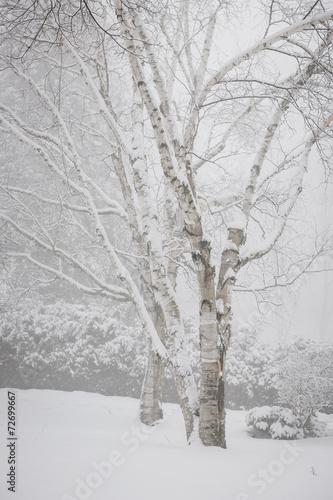 Birch trees in winter - 72699667