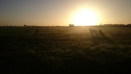 Spielende Schäferhunde unterm Sonnenaufgang