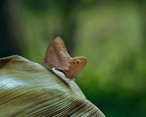 Common Evening Brown - melanitis leda butterflies , mating