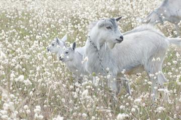 Ziegenfamilie auf der Weide