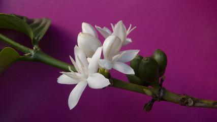Fleurs, feuilles et grains de caféier, La Réunion