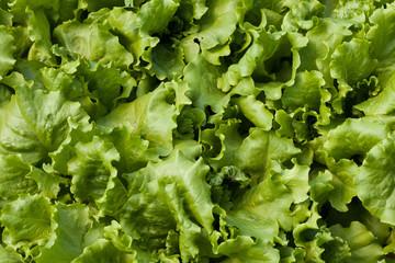Lettuce (Lactuca sativa)