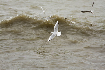 Gaviotas reidoras en vuelo. Chroicocephalus ridibundus.