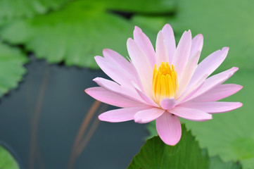 A Beautiful  Pink Lotus Flower