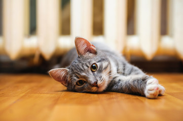 domestic lazy short-haired young whiskered cat lying and stretch