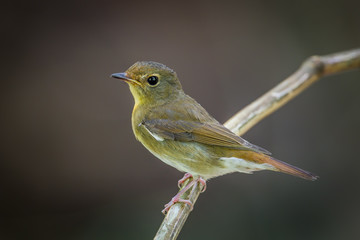 Close up of female Chinese Blue Flycatcher