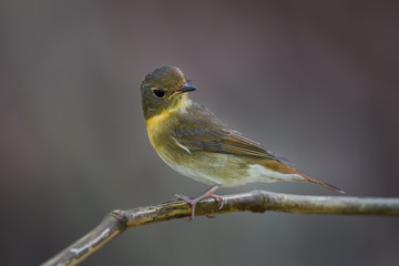 Female Chinese Blue Flycatcher(Cyornis glaucicomans)  catching