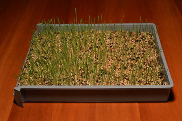 Growing wheatgrass seeds - 4 days old