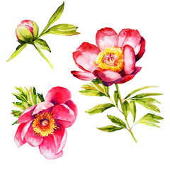 Red Peony flower botanical watercolor