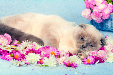 Cute color point cat relaxing ob blue blanket covered with flowe