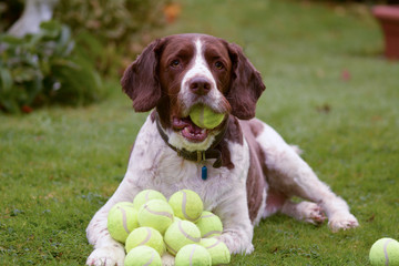 Springer spaniel hoards tennis balls