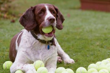 Springer spaniel hoards tennis balls