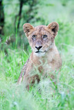 A miserable wild Lion cub sitting in the rain poster