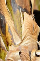 Bananenpflanzenstamm
