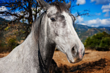 Close up of a gray horse in the countryside
