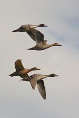 stormo di anatre selvatiche in volo