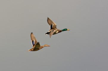 Coppia di anatre selvatiche in volo