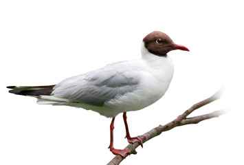Black-Headed Gull On White