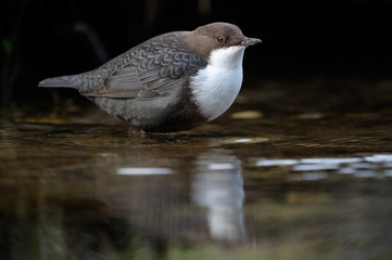 Dipper standing in the water with reflecton.