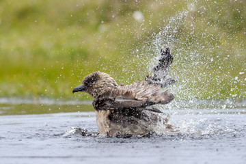 Arctic Skua bathing in small pond.