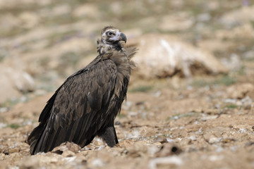 Monk vulture standing on ground.