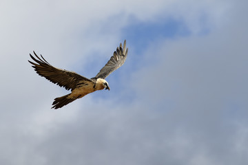 Bearded vulture flying against clouded sky.